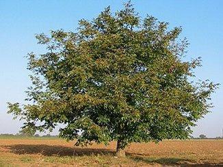 орех зибольда выращивание