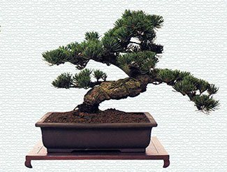 bonsai tree2