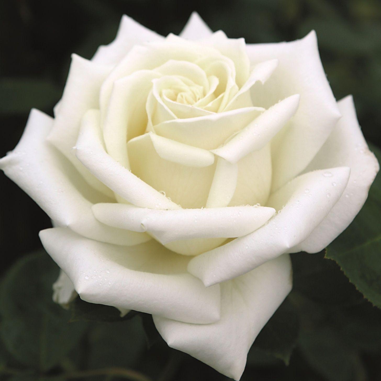 Бело розовые розы фото сорта
