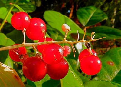 Коварные ягоды.