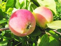 Яблоня, повышаем зимостойкость.