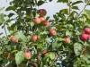 Почва. Как ухаживать за почвой плодового сада ?!