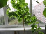 Виноград.Выращивание на балконе. Первый год.