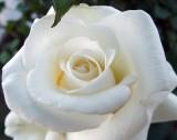 Выращивание белых роз на балконе.