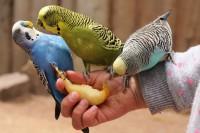 Несколько советов по содержанию волнистых попугайчиков.
