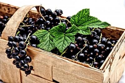 Смородина черная. Лекарственные и полезные свойства.