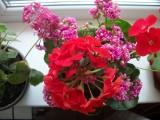 Комнатные растения, когда и как их пересаживать ?
