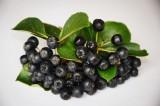 Черноплодная рябина.Лечебные и полезные свойства.