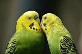 Содержание волнистых попугайчиков.