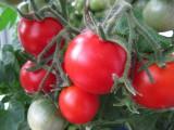 Выращивание помидор на балконе (подоконнике).