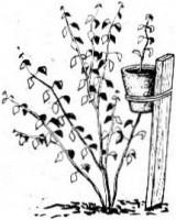 Оригинальный метод размножения роз и крыжовника.