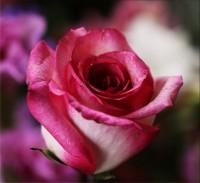 Роза. Основные принципы выращивания в открытом грунте.