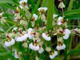 Орхидея. Выращивание и уход за мини-орхидеями.