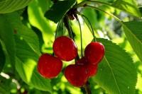 Как правильно удобрять плодоносящий сад ?!