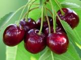 Размножение вишни и сливы корневыми черенками.