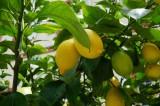 Лимон в Сибири.