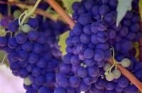 Виноград: посадка и уход в открытом грунте.