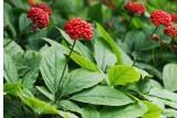 Женьшень, элеутерококк и другие полезные растения в саду.